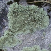 Unidentified Green Lichen GB12