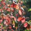 Poison Oak, Fall