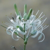 Wavy-Leaved Soap Plant CU