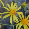Shrubby Butterweed CU